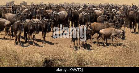 Wildebeest Gnus (connochaetes) waiting at the Mara river fro an opportunity to cross during the great migration - Stock Photo