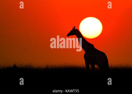 Giraffe crossing the African sunset in silhouette. Masai Mara, Kenya - Stock Photo