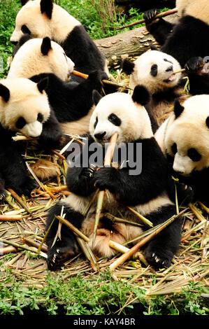 Giant pandas eating bamboo at the Chengdu Research Base of Giant Panda Breeding, Chengdu, Sichuan, China - Stock Photo