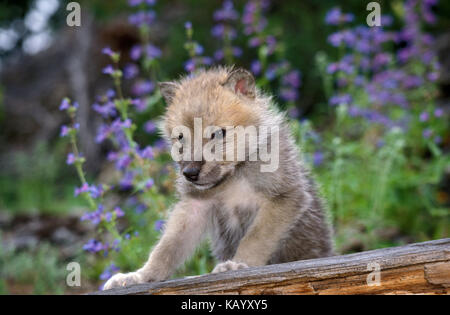 Polar wolf, Canis lupus tundra-around, young animal, trunk, flowers in the background, - Stock Photo