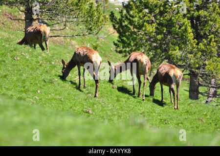 Italy, South Tirol, Villnösstal (Val di Funes), nature reserve, Alpine grassland, fallow deer, game enclosure, - Stock Photo