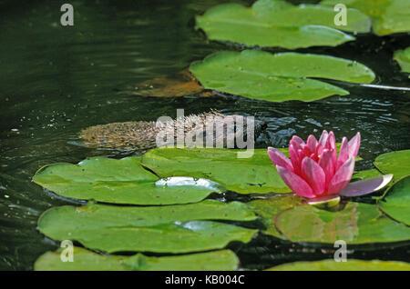 European hedgehog, Erinaceus europaeus, adult animal swims in the pond, - Stock Photo