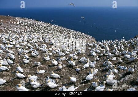 Northern gannets, Sula bassana, brood colony, Bonaventure Island, Quebec, Canada, - Stock Photo