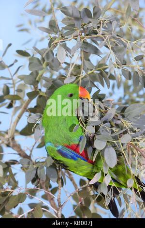 Noble parrot, Eclectus roratus, little men, fork, leaves, - Stock Photo