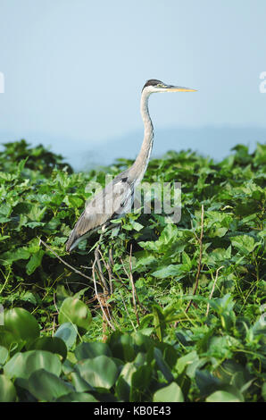 Garca-Moura bird on the top of a tree over the green foliage on Pantanal region, Brazil. Bird with a long neck, - Stock Photo