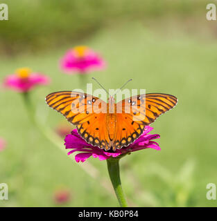 Gulf Fritillary Butterfly on Magenta Flower - Stock Photo