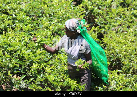 Tea picker in the highlands of Sri Lanka at work --- Teepflückerin in den Highlands von Sri Lanka bei der Arbeit - Stock Photo