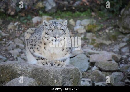 Schneeleopard sitzend - Stock Photo