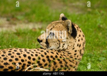 Lying down and relaxing cheetah watches something over its shoulder - Stock Photo