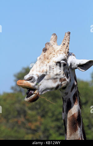 Reticulated Giraffe, Giraffa Camelopardalis reticulate, Cape May County Zoo, New Jersey, USA - Stock Photo