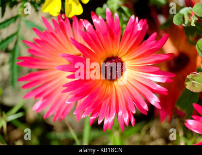 Livingstone Daisy. (Cleretum  bellidiforme). Slow growing, annual, - Stock Photo