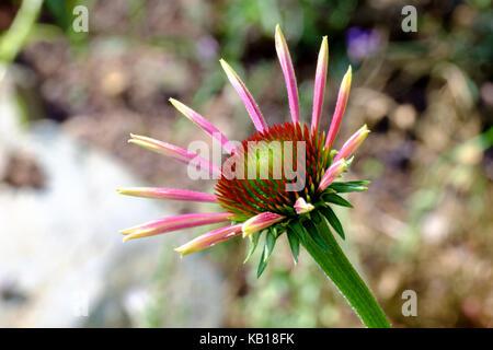 A growing Echinacea purpurea. 'Ruby Giant'. coneflower.perennial. - Stock Photo
