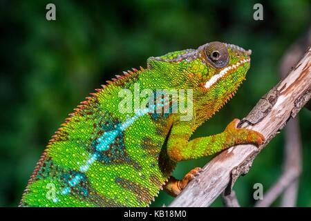 Panther chameleon (Furcifer pardalis) in tree, native to  Madagascar - Stock Photo