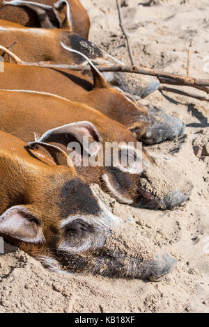 Close up of red river hogs / bush pigs (Potamochoerus porcus) sleeping, native to Africa - Stock Photo