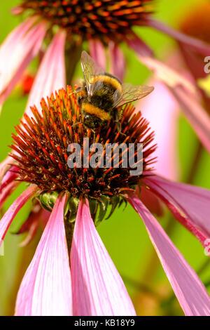 Bumble bee feeding on Echinacea purpurea. 'Ruby Giant'. coneflower.perennial. - Stock Photo