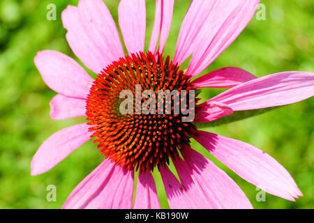 Echinacea purpurea. 'Ruby Giant'. coneflower.perennial. - Stock Photo