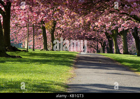 Pink Cherry Trees on Stray Rein in Harrogate,North Yorkshire,England - Stock Photo