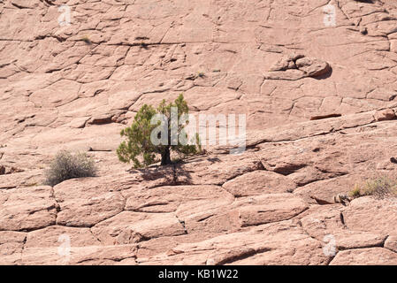Juniper tree growing in slickrock, Grand Staircase - Escalante National Monument, Utah. - Stock Photo