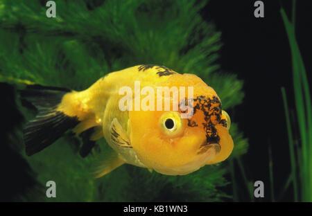 Lion's head goldfish, Carassius auratus, aquarium, - Stock Photo