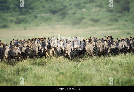 Grevy's zebras, Equus grevyi, focuses in the Samburu park, Kenya, Africa, - Stock Photo