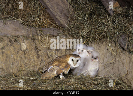 Barn owl, Tyto alba, adult animal with chick, - Stock Photo