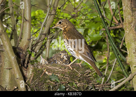 Song throttle, Turdus philomelos, adult animal Bird with young animals in the nest, - Stock Photo