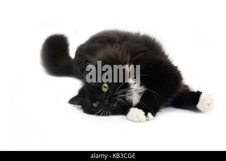 black-and-white Siberian house cat, lying, studio, white background, - Stock Photo