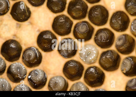 Beehive, honeybees, Apis mellifera, larvae in the brood chambers, - Stock Photo