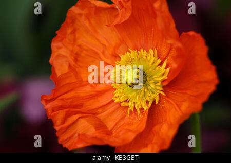 poppy flower, island Mainau, - Stock Photo