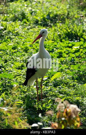 France, Haut Rhin, Hunawihr, centre for reintroduction of storks in Alsace region, White Stork (Ciconia ciconia) - Stock Photo