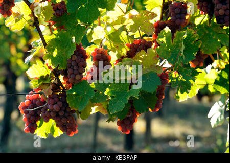 France, Haut Rhin, Alsace Wine Road, Eguisheim vineyard - Stock Photo
