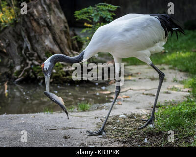 The red-crowned crane eating a fish. The red-crowned crane or Manchurian crane, is a large East Asian crane among - Stock Photo