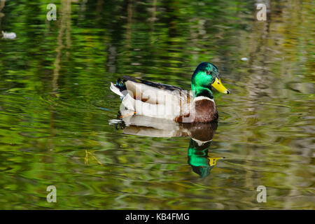 Mallard Duck swimming in a pond with beautiful reflection - Stock Photo