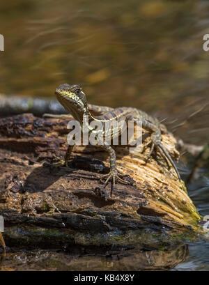 Young Striped Basilisk (Basiliscus vittatus) on piece of wood in water at river bank, Costa Rica, Puntarenas, Tarcoles, - Stock Photo
