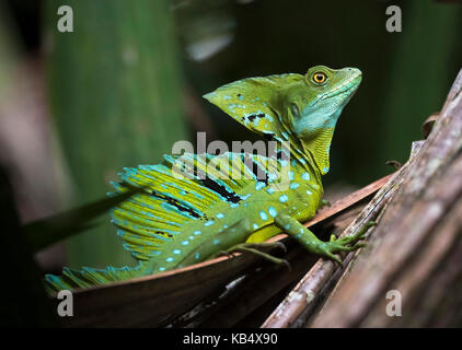 Adult Male Plumed Basilisk or Green Basilisk (Basiliscus plumifrons) in mangrove forest, Costa Rica, Tortuguero - Stock Photo