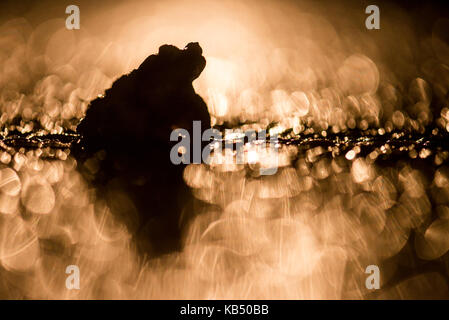Common Toad (Bufo bufo) male silhouette on wet road after rain in light of car headlights, The Netherlands, Gelderland, - Stock Photo