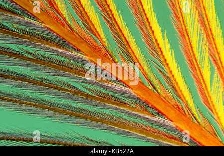 Close up of feather showing interlocking barbules - Stock Photo