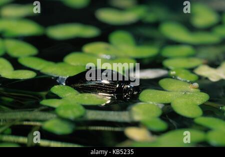 Whirligig Beetle (Gyrinus substriatus) on surface of pond among duckweed, Europe - Stock Photo
