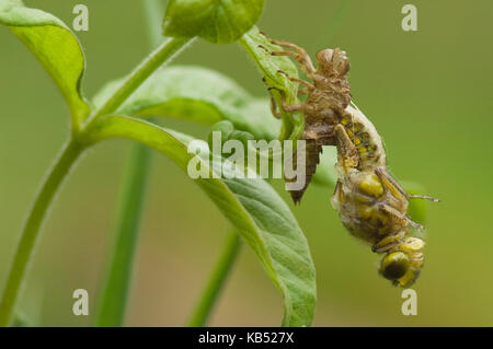 Broad-bodied Chaser (Libellula depressa) dragonfly emerging from larval skin, Eesveen, The Netherlands - Stock Photo