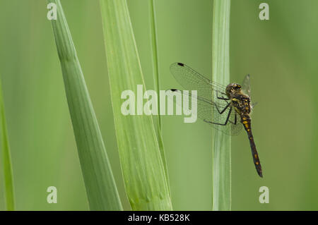 Black Darter (Sympetrum danae) dragonfly male, The Netherlands - Stock Photo