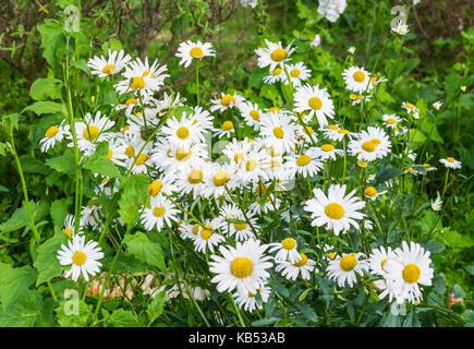 Oxeye daisies (Leucanthemum vulgare, Chrysanthemum Leucanthemum) growing in Summer in the UK. - Stock Photo