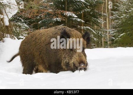 Wild Boar (Sus scrofa) standing in snow, Germany - Stock Photo