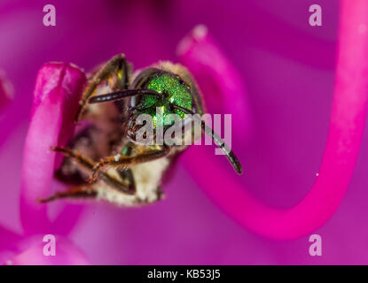 Sweat Bee (Hymenoptera) on a Rhododendron, United States, Michigan, Kalamazoo - Stock Photo