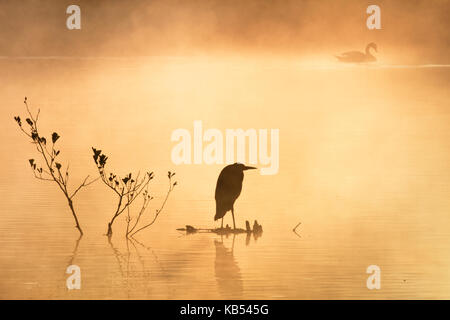 Grey heron (Ardea cinerea) perched on debris overlooking a misty lake at dawn with a mute swan (Cygnus olor) in - Stock Photo