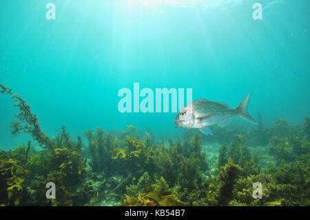 Australasian snapper Pagrus auratus swimming with mouth open above flat bottom covered with brown sea weeds. - Stock Photo