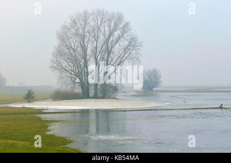 Grey Willow (Salix cinerea) at outer marches during winter with low water level with ice, The Netherlands, Overijssel, - Stock Photo