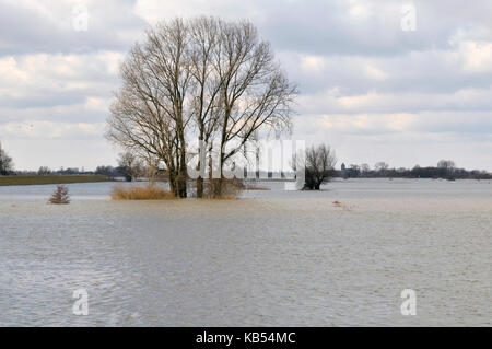 Grey Willow (Salix cinerea) at outer marches during winter with high water, The Netherlands, Overijssel, Nationaal - Stock Photo