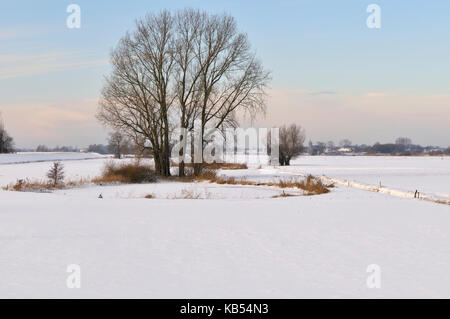 Grey Willow (Salix cinerea) at outer marches during winter, snow on the outer marches, The Netherlands, Overijssel, - Stock Photo