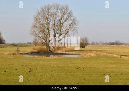 Grey Willow (Salix cinerea) at outer marches during a dry winter, no snow on the outer marches, The Netherlands, - Stock Photo