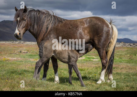 Mare and Foal, Iceland Icelandic pure-bred foal nursing. - Stock Photo